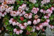Vaccinium Vitisidaea - Arctic Flower
