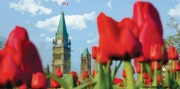 Tulips in front of Peace Tower