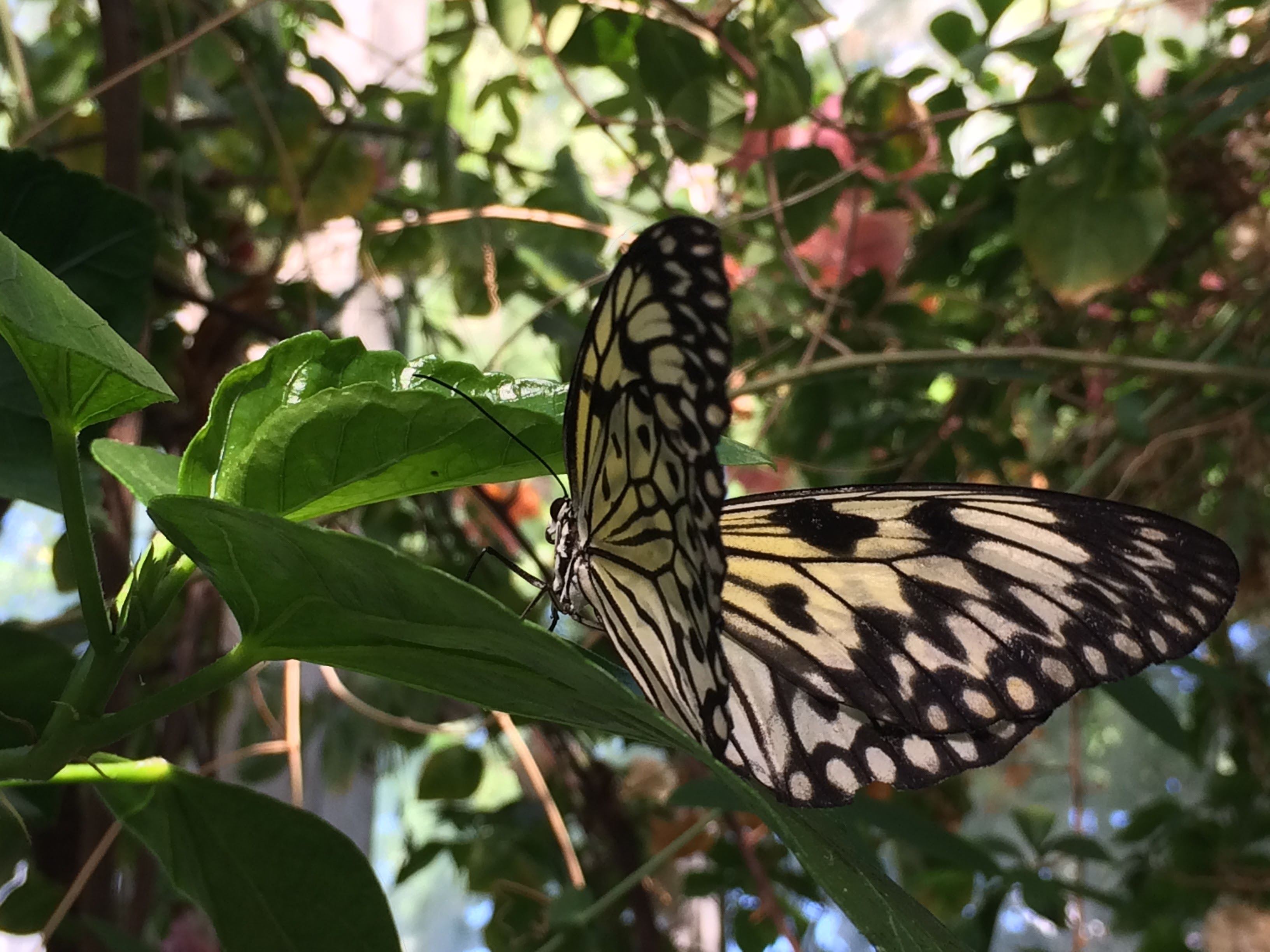 Live Butterfly in the greenhouse